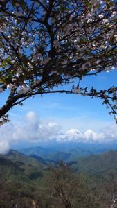まだ、さくらは咲いています(桜と富士山)